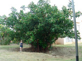 Rubber tree tree