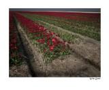 tulips triangle