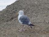 colorful Seagull at Malibu Beach