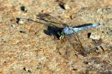 Dragonfly_14068