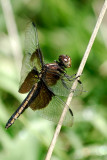 Dragonfly_14545