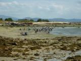 Recogiendo Almejas. A Illa de Arousa