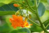 Orange Kou