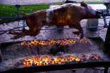 Wild Boar on the spit