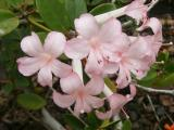 Light pink Rhododendrons