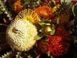 Various Protea