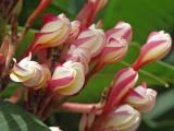 Striped Plumeria