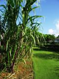 Sugar cane plant (Saccharum)