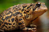 175 American Toad close up 1.jpg