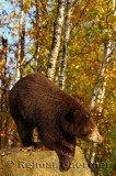 177 Bear 11.jpg