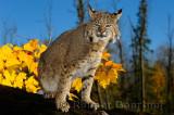 177 Bobcat 4.jpg