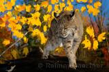 177 Bobcat 7.jpg