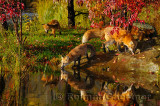 177 Foxes 2.jpg