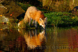 177 Foxes 9.jpg
