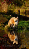 177 Foxes 10.jpg