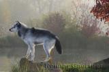 177 Wolf 1.jpg