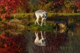 177 Wolf 9.jpg