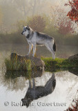 177 Wolf 10.jpg