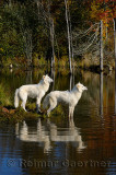 178 Arctic Wolves 4.jpg