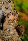 178 Bobcat kittens 1.jpg