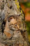 178 Bobcat kittens 2.jpg