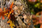 178 Bobcat kittens 5.jpg