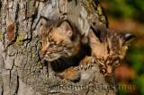 178 Bobcat kittens 8.jpg