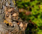 178 Bobcat kittens 9.jpg
