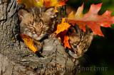 178 Bobcat kittens 10.jpg