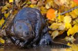 179 Beaver 1a.jpg