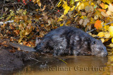 179 Beaver 2.jpg