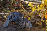 179 Beaver 3.jpg