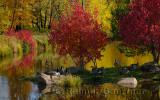 179 Canada Geese in Fall 1.jpg