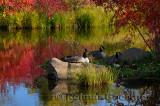 179 Canada Geese in Fall 2.jpg