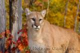 179 Cougar 1.jpg