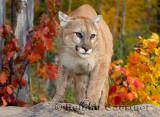 179 Cougar 2.jpg