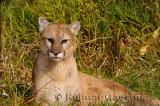 179 Cougar 3.jpg