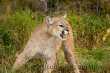 179 Cougar 4.jpg