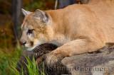 179 Cougar 5.jpg