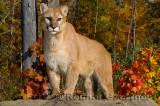 179 Cougar 8.jpg
