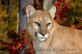 179 Cougar 10.jpg