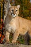 179 Cougar 11.jpg