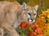 179 Cougar 12.jpg