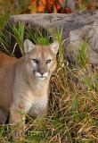 179 Cougar 15.jpg