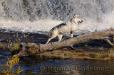 180 Kettle River Wolf 1.jpg