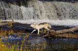 180 Kettle River Wolf 6.jpg