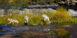 180 Kettle River Wolves 2.jpg