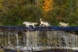 180 Kettle River Wolves 3.jpg