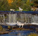 180 Kettle River Wolves 4.jpg
