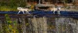 180 Kettle River Wolves 7.jpg
